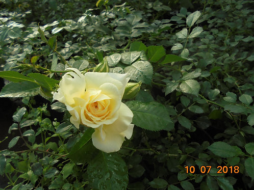 Роза Надя Мейдиланд (Nadia Meidiland). Почвопокровная роза от Розебук