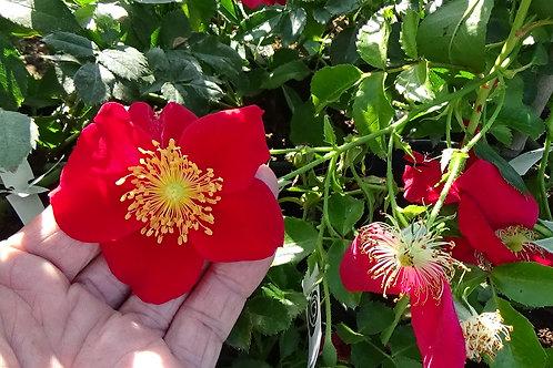 Роза Ред Хэйз (Red Haze) Почвопокровная