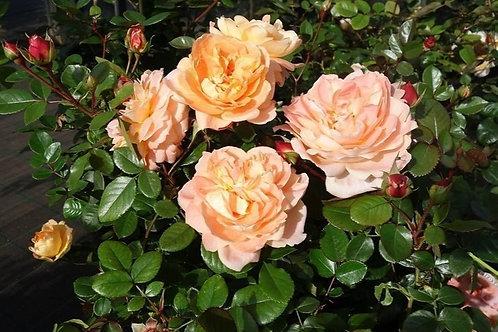 Роза Шон Вом Зее (Schone vom See) Флорибунда