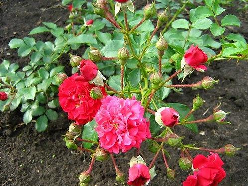 Роза Хеллоу (Hello) Почвопокровная