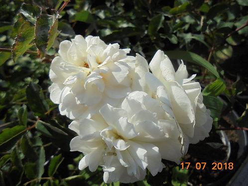 Роза Просперити (Prosperity). Мускусная роза от Розебук