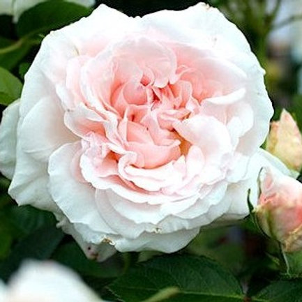 Роза Грациоза (Graciosa). Плетистая роза от Розебук