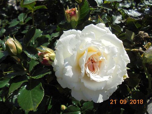 Роза Бланк Мейяндекор (White Meidiland ) Шраб Модерн