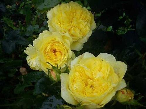 Роза Анни Дюпрей (Anny Duperey). Парковая роза от Розебук