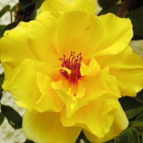 Роза Голден Шоверс (Golden Showers). Плетистая роза от Розебук