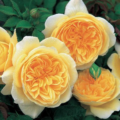 Роза Тизинг Джорджия (Teasing Georgia). Английская роза от Розебук