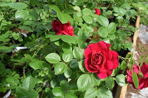 Роза Ред Леонардо (Red Leonardo da Vinci) Флорибунда