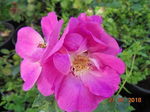 Роза Глобал Вотер (Global Water). Парковые розы от Розебук.