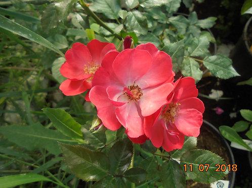 Роза Ред Бланкет (Red Blanket) Шраб модерн