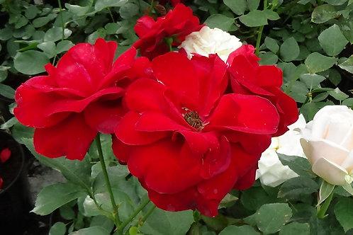 Роза Лили Марлен (Lilli Marleen) Флорибунда