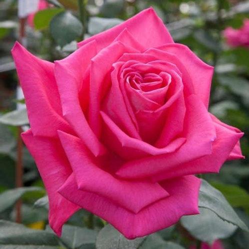 Роза Лолита Лемпика (Lolita Lempicka) Чайно-гибридная