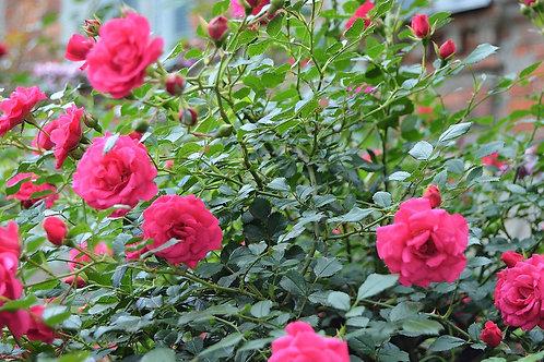 Роза Роди (Rody) Почвопокровная