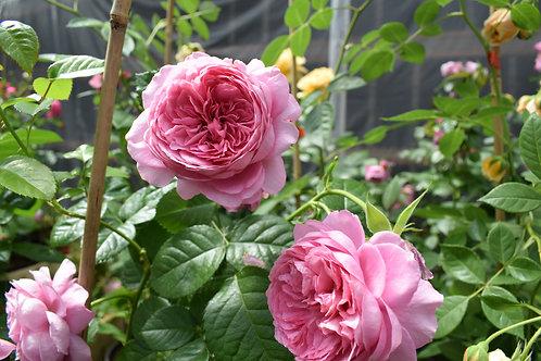 Роза Принцесса Александра оф Кент (Princess Alexandra of Kent). Английская роза от Розебук