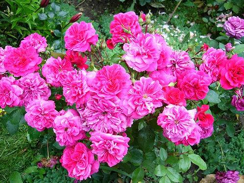 Роза Сангрия (Sangria) Флорибунда