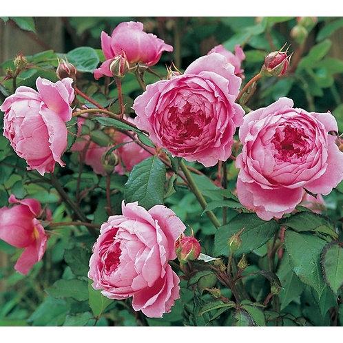 Роза Алан Титчмарш (Alan Titchmarsh). Английская роза от питомника саженцев роз Розебук в Подмосковье.
