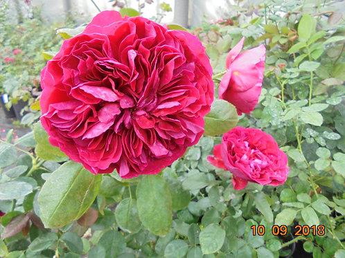Роза 4 ветров (Rose des 4 Vents). Флорибунда от Розебук