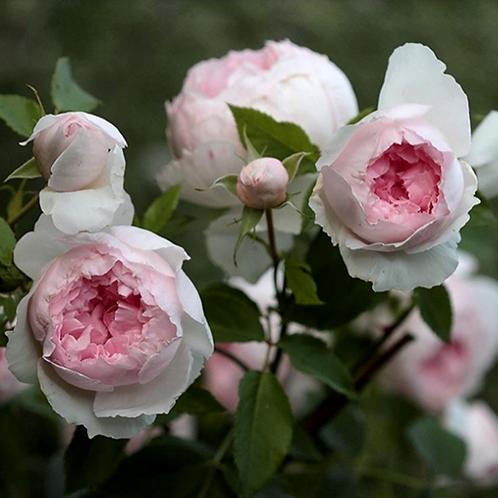 Роза Зе Веджвуд Роуз (The Wedgwood Rose) Английская