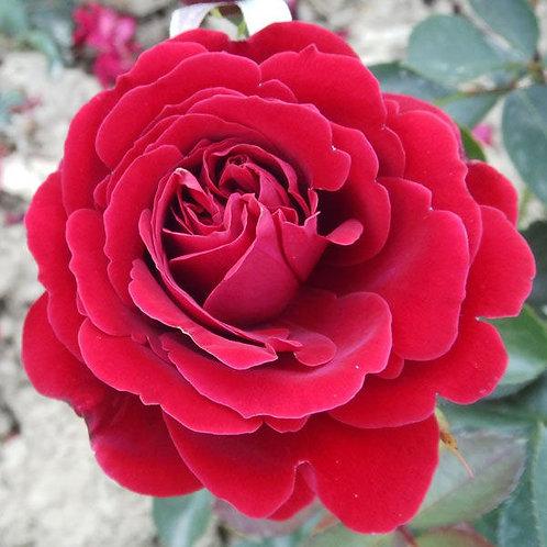 Роза Нахеглут (Nahelglut). Клаймбер от Розебук.