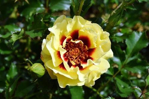 Роза Сансет Бэбилон Айс (Sunset Babylon Eyes) Гибрид Персидской розы