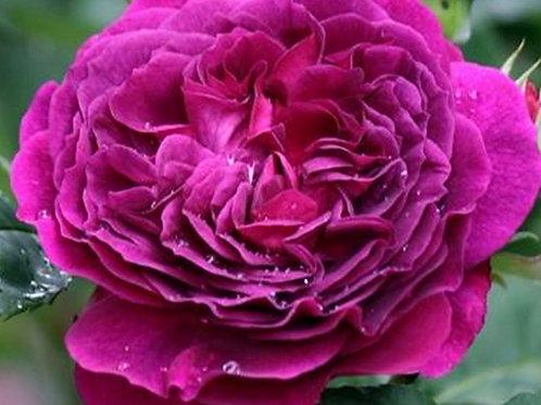 Роза Пале Бирон (Purple Lodge) Шраб