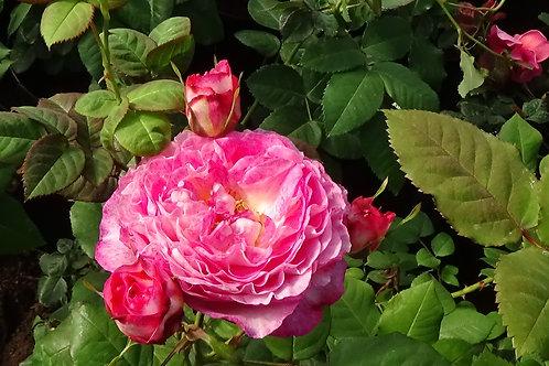 Роза Мадам де Сталь (Madame de Stael) (Massad, 2009)