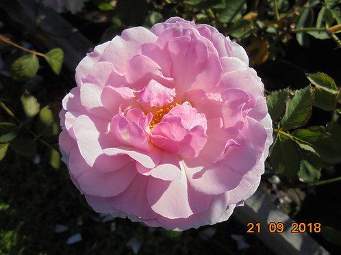 Роза Леди Солсбери (Lady Salisbury) Английская