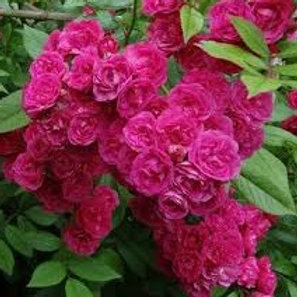 Роза Динки (Dinky). Мускусная роза от Розебук