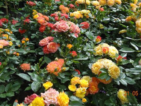 Расскажите всем о Ваших розах!