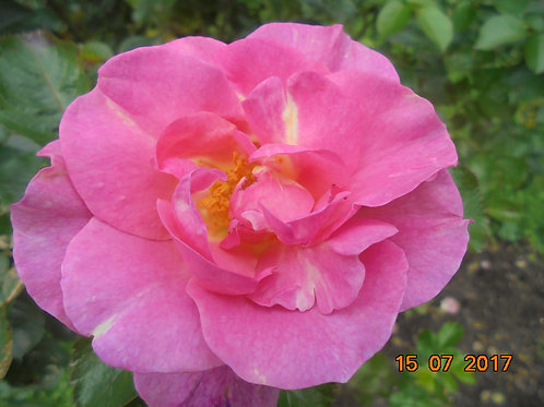 Роза Мирато (Footloose) Почвопокровная