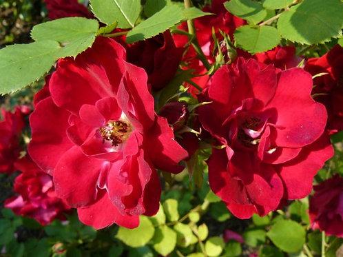 Champlain (Шамплейн) Канадская роза