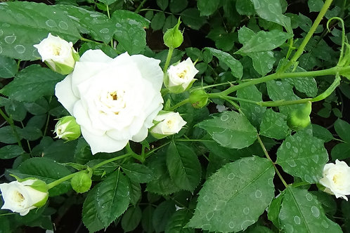 Роза Кент (White Cover) Шраб Модерн