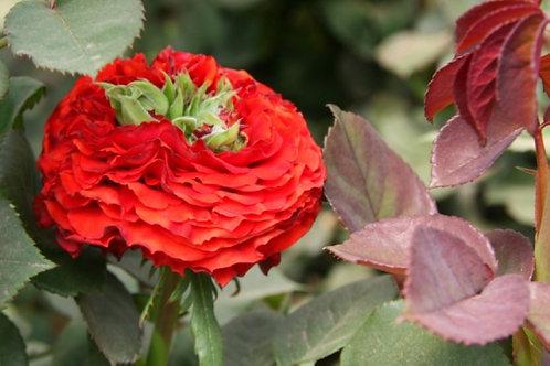 Роза Ред Ай (Red Eye) Чайно-гибридная