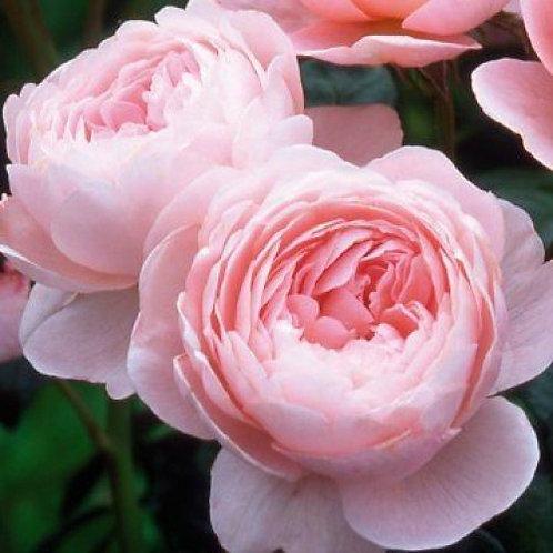 Роза Квин оф Шведен (Queen Of Sweden). Английская роза от Розебук