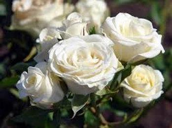 Роза Ла Палома 85 (La Paloma 85) Флорибунда от Розебук