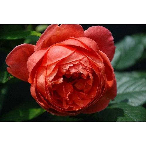 Роза Саммер Сонг (Summer Song). Английская роза от Розебук