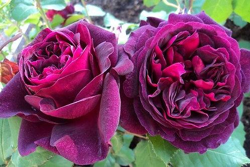 Роза Манстед Вуд (Munstead Wood). Английская роза от Розебук.