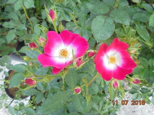 Роза Букаву (Bukavu), Мускусный гибрид от Розебук