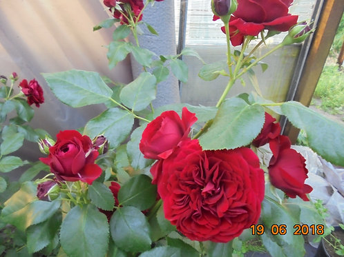 Роза Красная Шапочка (Rotkappchen) Флорибунда