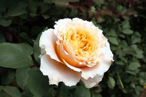Роза Каралуна (Caraluna) Чайно-гибридная