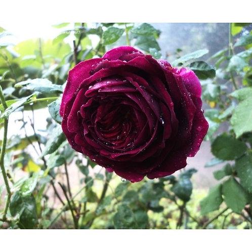 Роза Принц (The Prince). Английская роза от Розебук