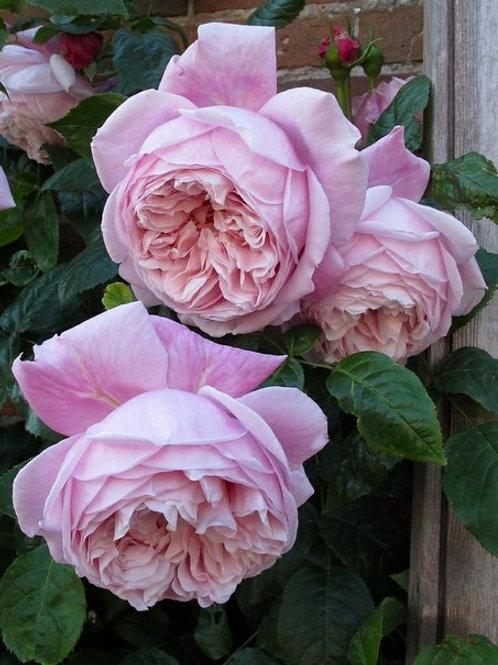 Роза Спирит оф Фридом (Spirit of Freedom). Английская роза от Розебук.