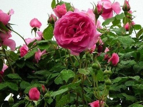 Роза Парад (Parade). Плетистая роза от Розебук.