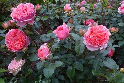 Роза Чипэндейл (Chippendale) Шраб