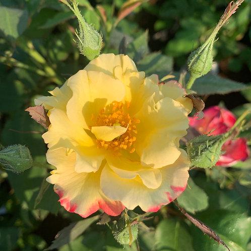 Роза Квинт Флаш (Quinte Flush), флорибунда