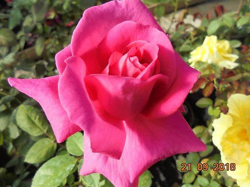 Роза Синтия (Cynthia) Чайно-гибридная