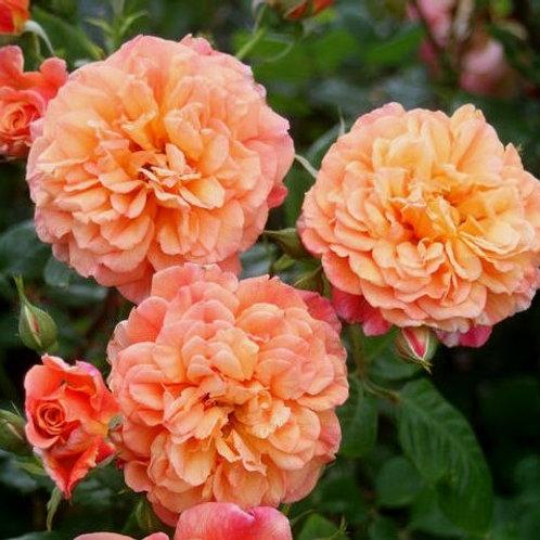 Роза Алоха (Aloha). Клаймбер от Розебук.