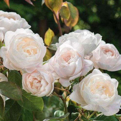 Роза Дездемона (Desdemona) Английские розы