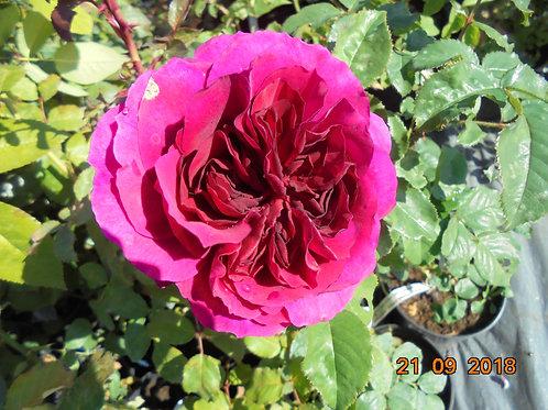 Роза Фишерман Френд (Fisherman's Friend). Английская роза от Розебук
