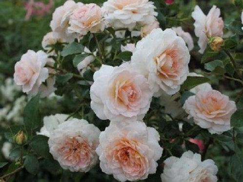 Роза Шлосс Ойтин (Schloss Eutin). Парковая роза от Розебук