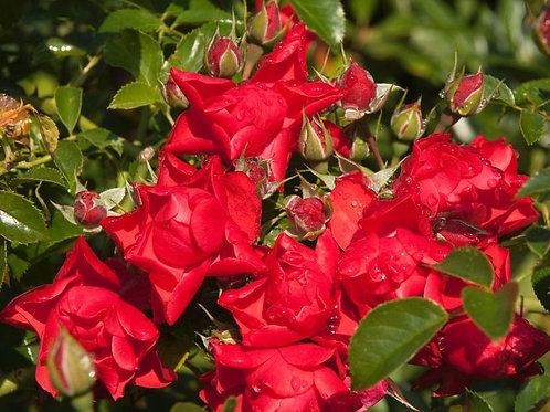 Роза Сорренто (Sorrento) Почвопокровная